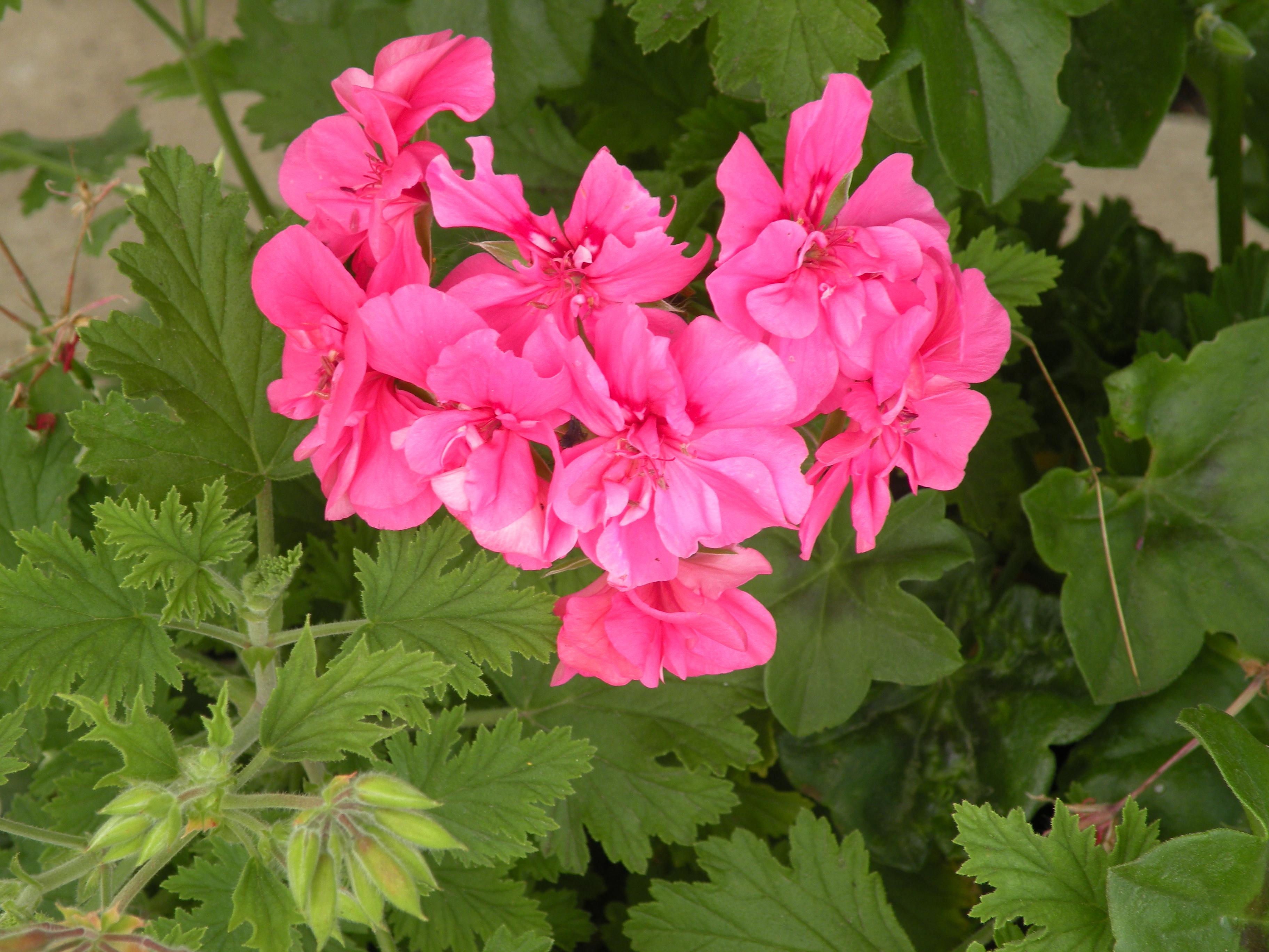 Production florale esat vivre - Geranium lierre double ...